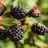 Nonostante le piccole dimensioni, la mora è un frutto ricco di vitamine, minerali, fibre e antiossidanti!! 💜  Questo frutto delizioso inoltre ha poche calorie, dunque è ideale per le persone che si sottopongono a diete dimagranti!! Scopri tutti i benefici della mora nel succo 💯% Frutta di Premium Fruit!!! ✨✨  •SCONTO -20% (sul prezzo unitario) dal 4 al 10 GENNAIO  •SPEDIZIONE GRATIS per ordini da 89€  •ACQUISTA 4 CONFEZIONI e RISPARMIA   #premiumfruit #lasaluteènellespremute !!!