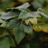 Da questa pianta cresceranno le preziose bacche di Ribes Nero!! Ricche di antiossidanti naturali ✨🖤Per Noi di Premium Fruit 💚 la Natura è Vita!!! ✨ Ingredienti 100% Naturali!!!   •SCONTO -20% (sul prezzo unitario) dal 18 al 24 GENNAIO  •SPEDIZIONE GRATIS per ordini da 89€  •ACQUISTA 4 CONFEZIONI e RISPARMIA   #premiumfruit #lasaluteènellespremute !!!