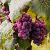 Non solo vino e mosto: dall'uva si ricava anche un vero elisir di benessere per tutto l'organismo, il succo d'Uva ✨🍇  Berlo regolarmente significa godere di tanti benefici e proprietà naturali che aiutano a prevenire l'invecchiamento cellulare e a mantenere mente e corpo in forma 😌🌈 Noi di Premium Fruit abbiniamo il succo d'uva con quello di ribes nero 🍇🖤 per ottenere bevanda fresca, energetica e dissetante 🍹💦 perfetta in ogni periodo dell'anno e in qualsiasi momento della giornata!!!   •SCONTO -20% (sul prezzo unitario) dal 18 al 24 GENNAIO  •SPEDIZIONE GRATIS per ordini da 89€  •ACQUISTA 4 CONFEZIONI e RISPARMIA   #premiumfruit #lasaluteènellespremute !!!